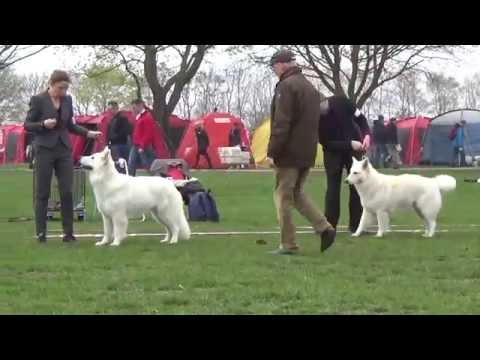 20150425 DKK Int Dog Show White Swiss Shepherd