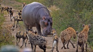Battle between Wild Dogs, Hyenas, Hippos & 2 Impalas