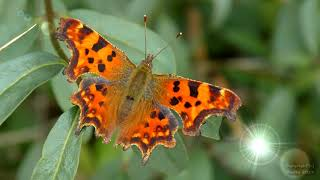 Comma Butterfly - Walthamstow Nature Reserve, London, UK, Sept 2019  - 4K UHD