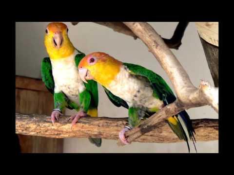 beautiful photo of a parrot Pionites (Белобрюхие попугаи)