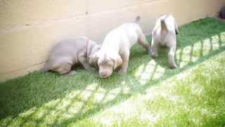 ワイマラナーの子犬 4月11日生まれ (生後28日目) オーナーさん募...