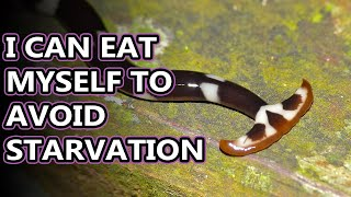 Hammerhead Flatworm facts: Destroying Earthworms Near You | Animal Fact Files