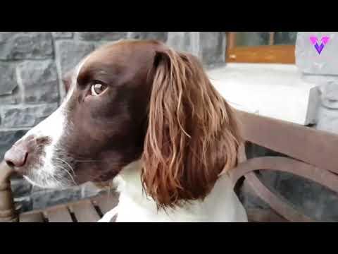 Este perro está entrenado para olfatear la enfermedad de la viruela de las ardillas