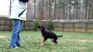 Obedience Work With German Shepherd - 14wks Old