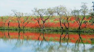4K 津屋川の彼岸花
