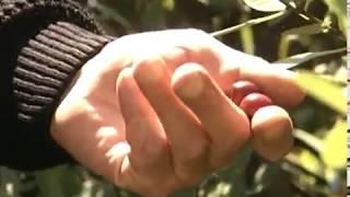 Уход за сливово-вишневыми гибридами