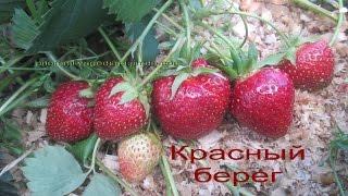 Саженцы клубники в Беларуссии- питомник