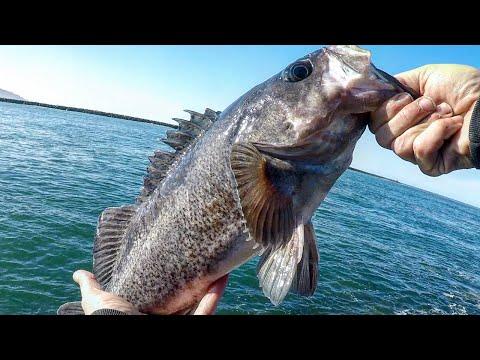 Oregon Coast Fishing, How I Catch {BIG} RockFish At Barview Jetty With Berkley Gulp Baits