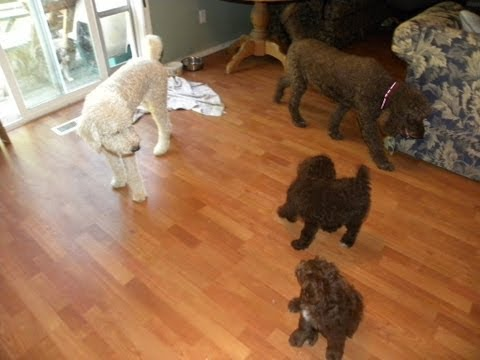 A Day in my Life ... Standard Poodle Puppy and Mini Aussiedoodle Puppies play - Dreamydoodles.com