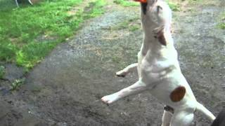 Big English Bulldog X English Stafford Shire Terrier,  Muscle Dog In Training