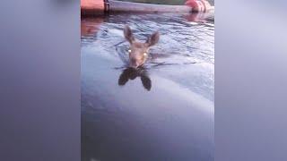 Pływający łoś chce wejść na łódkę