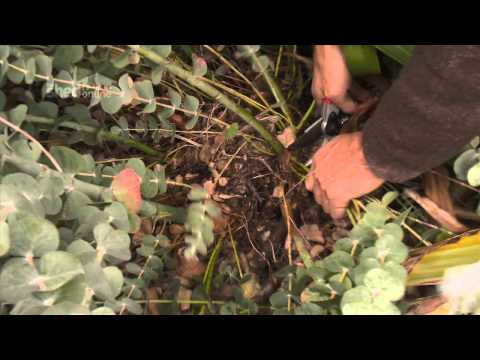 The Shed Online - Pruning Eucalyptus