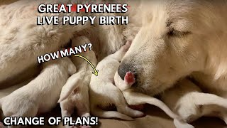 Great Pyrenees Puppies Being Born // Puppy Live Birth // Small Farm Living