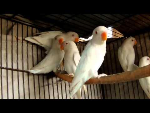 Beautiful Albino White Lovebirds