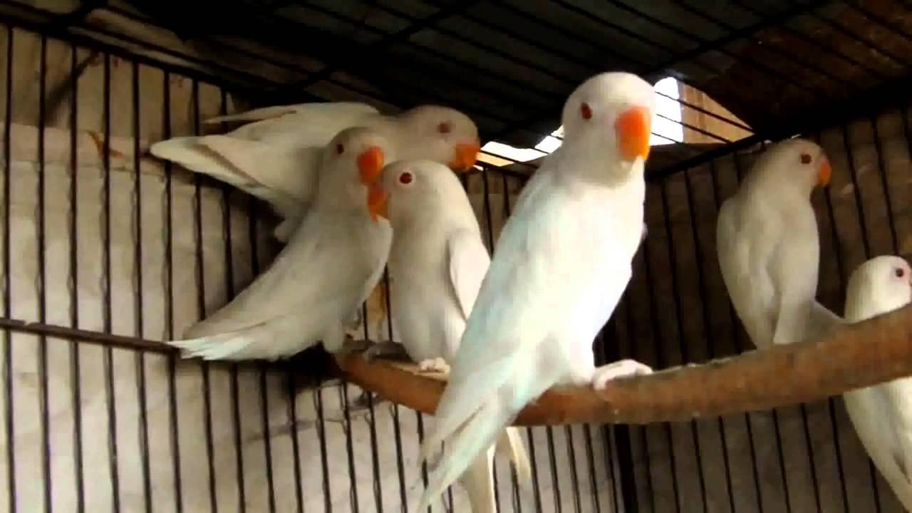 Beautiful Albino White Lovebirds Youtube