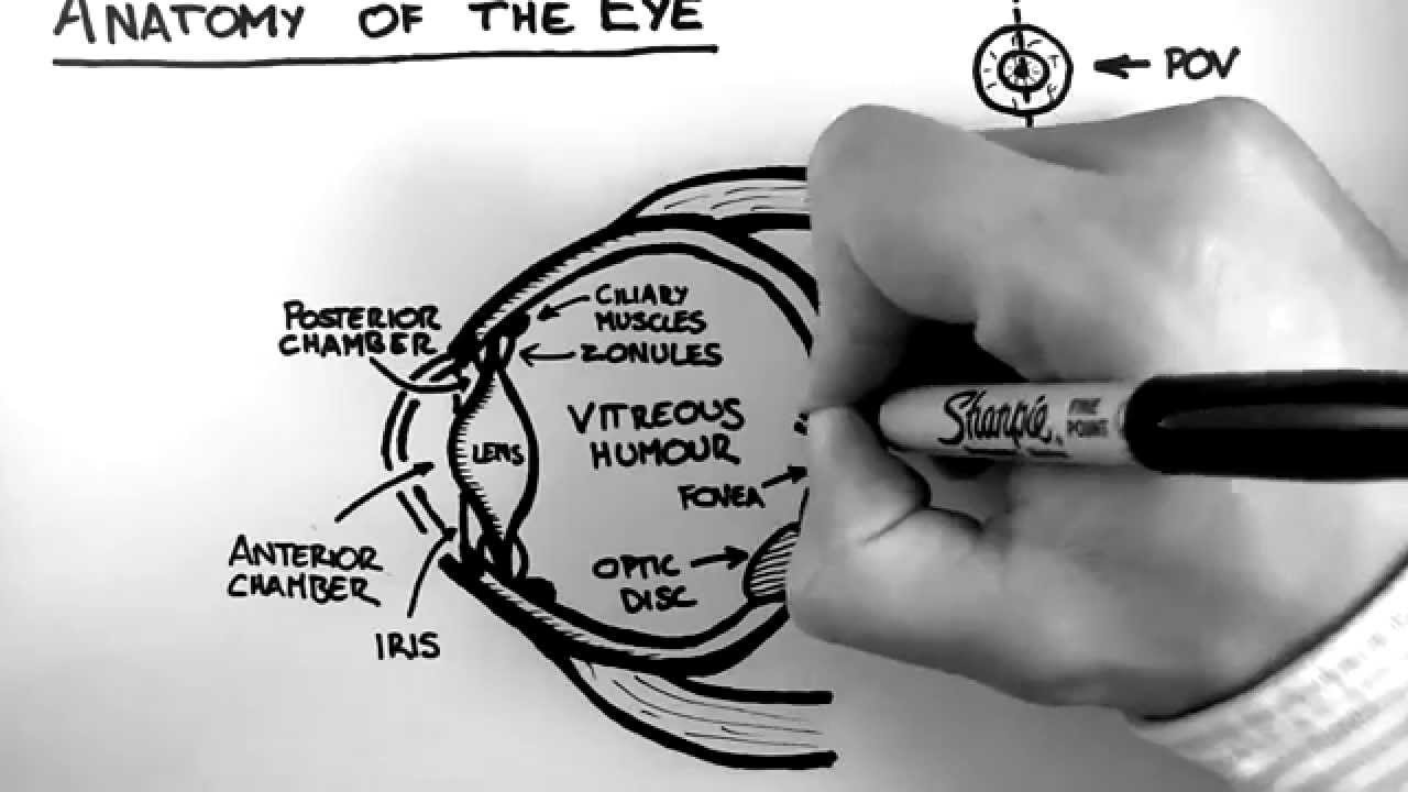 Anatomy Of The Eye Youtube
