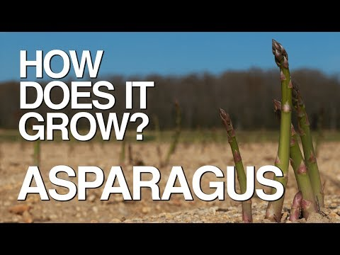ASPARAGUS | How Does it Grow?