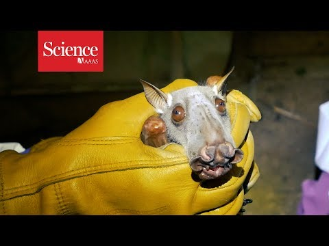 Hunting for Ebola among the bats of the Congo