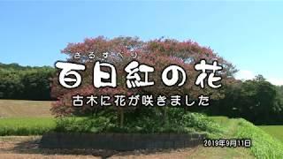 【環境】百日紅の花(さるすべり)Crape myrtle ( lonely old tree )