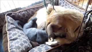 Amazing Animal Love. Border Terrier And Russian Blue Cat.