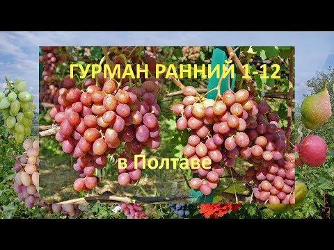 Виноград 2018  Виноград Гурман ранний  Отзыв о винограде