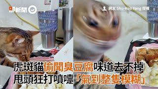 虎斑貓偷聞臭豆腐...味道去不掉!甩頭「氣到整隻模糊」|寵物|貓咪|看新聞