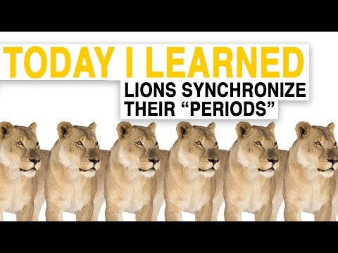 "TIL: Female Lions Synchronize Their ""Periods"" 