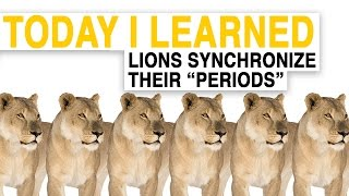 """TIL: Female Lions Synchronize Their """"Periods"""""""