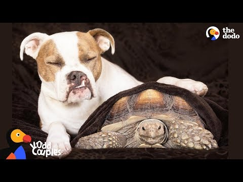 Tortoise Loves Pit Bull Dog Sister   The Dodo Odd Couples