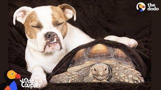 Tortoise Loves Pit Bull Dog Sister | The Dodo Odd Couples