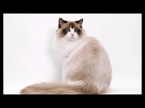 ragdoll cats video