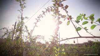 Production de baies de Goji en France(la baie de Goji dans le Tarn et Garonne, tournage pour le 12h45 M6 www.dronesudtoulouse.fr., 2016-12-02T14:31:35.000Z)