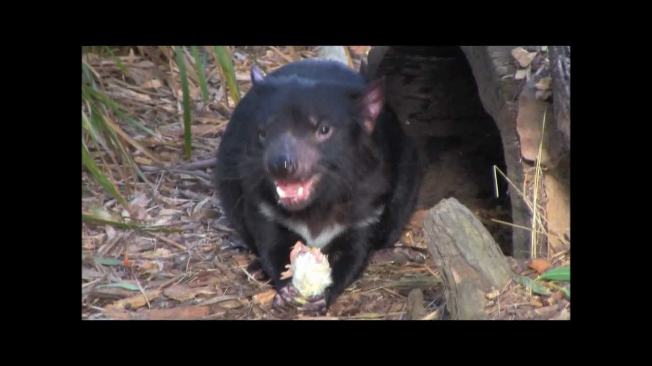 tasmanian devil vs rat youtube