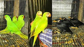 আসল পাহাড়ি ময়নার বাচ্চা, ইন্ডিয়ান রিংনেক টিয়ার বাচ্চা ও মদনা টিয়ার বাচ্চা বিক্রি হবে || 01409832714