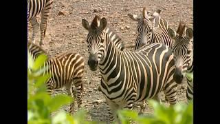 小康軒科學館  觀察影片:斑馬(無旁白)