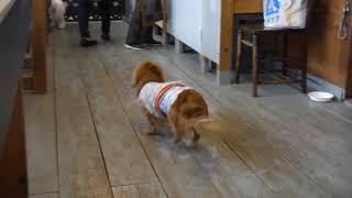ビションフリーゼの親戚の犬種(確かボロニーズ)の男の子です。ちょっ...