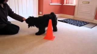 Pebbles The Tibetan Terrier Pet Obedience Training Aged 15 Months.