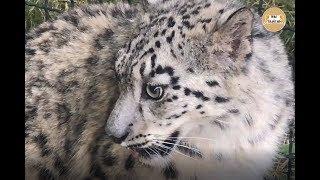 Снежный барс Красава на прогулке. Майские зарисовки. Snow Leopard Krasava for a walk. Taigan