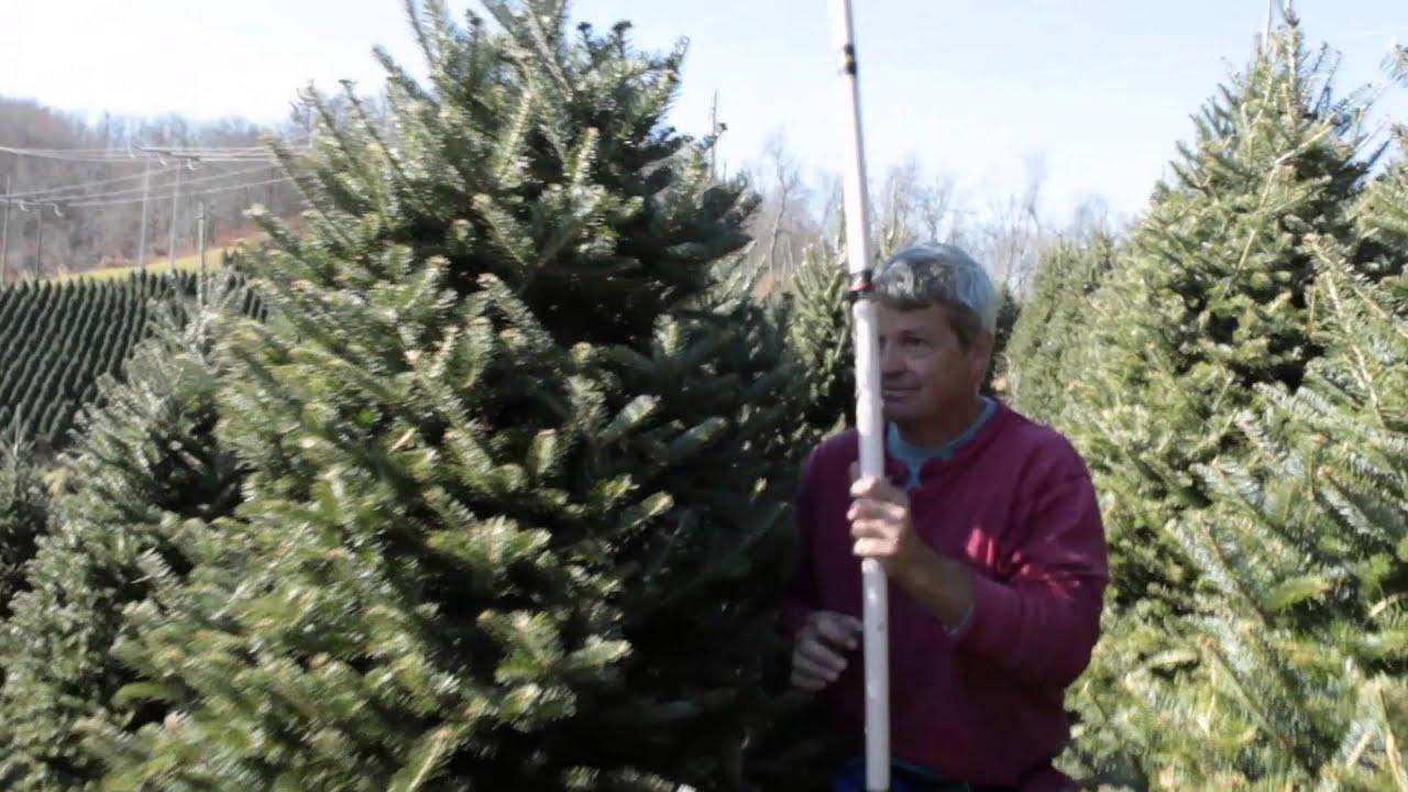 NC Christmas Trees - NC Fraser Fir