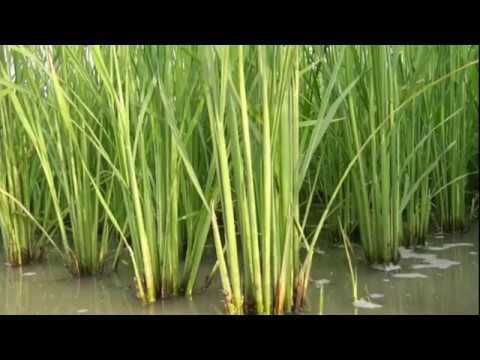 Advanced Rice Variety by BARC