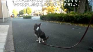 チワワ1歳半の男の子の家庭犬トレーニング5日目の様子です。