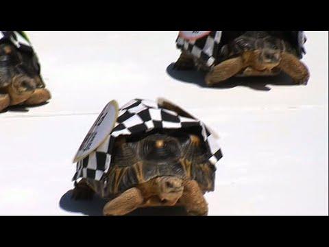 Tortoises Race in the Zoopolis 500