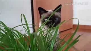 Голубоглазка в джунглях / тайская кошка