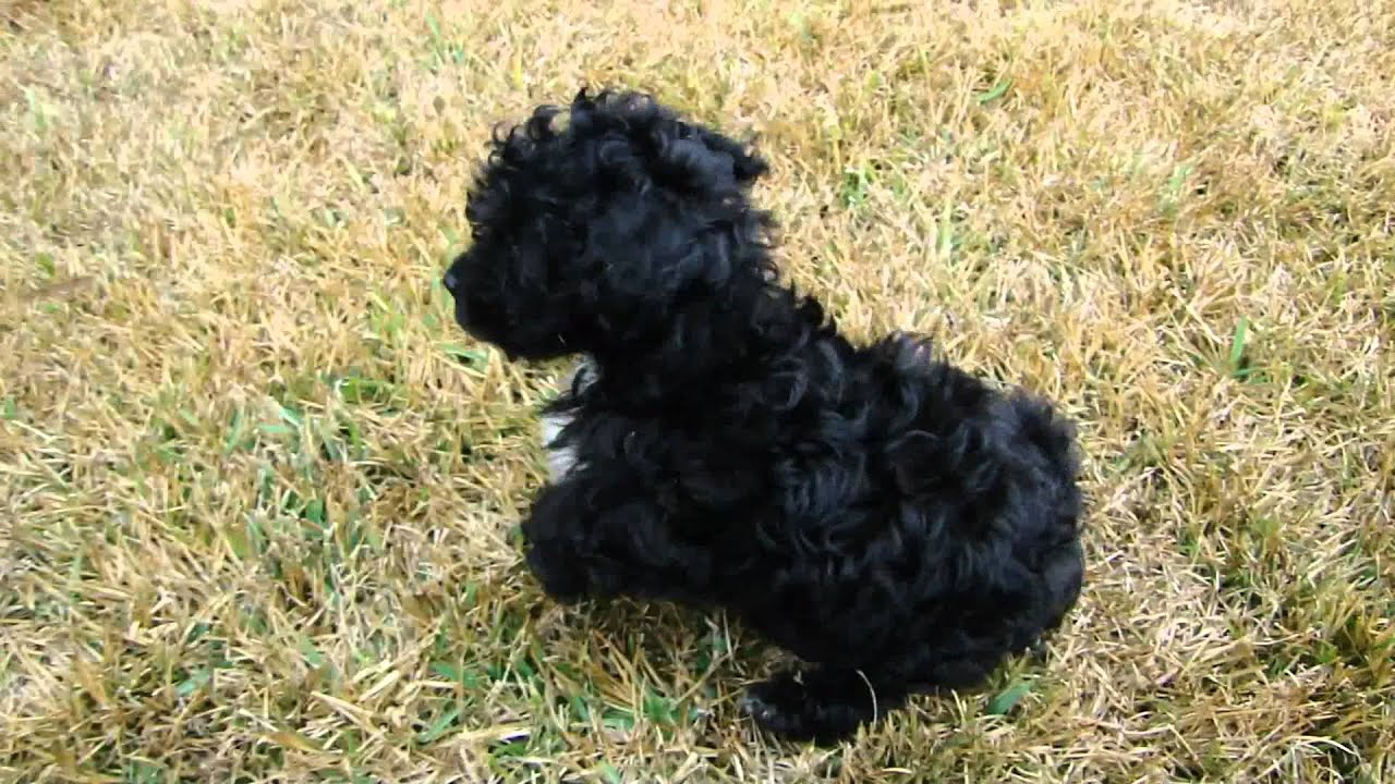 sale toy poodle Adult