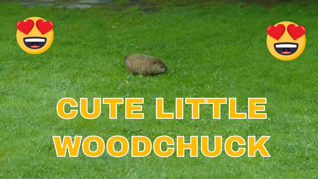 Woodchuck in my backyard (AKA: Ground Hog) ~ 2010 - YouTube
