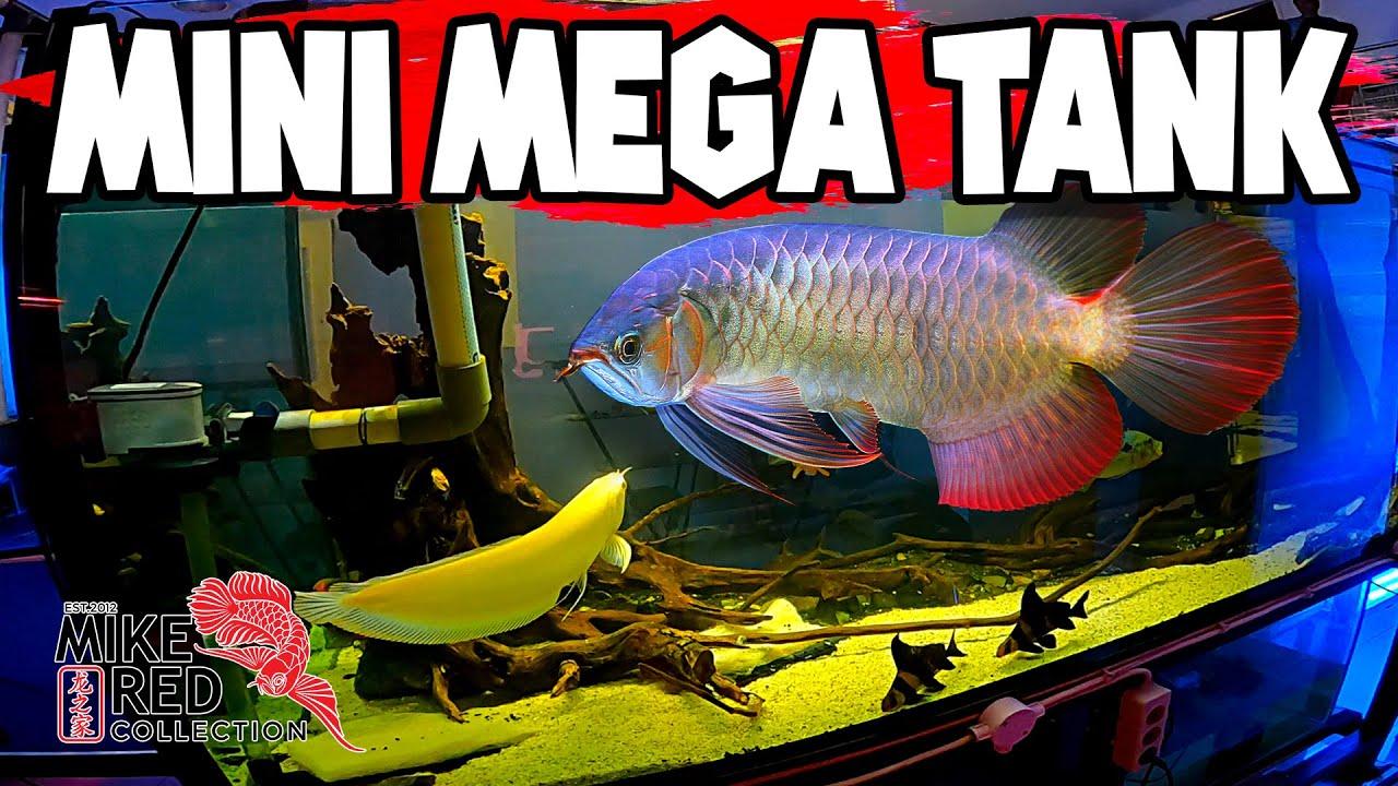 Mini Mega Tank of Predator Fish - Bonus Arowana (Arwana) Proffesional Photos