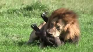 15 безумных животных бои пойман на камеру безумные бои животных гиппопотама, крокодила