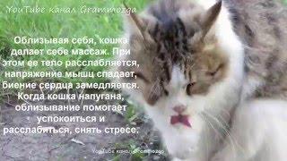 Кошка умывается.Почему кошки умываются.