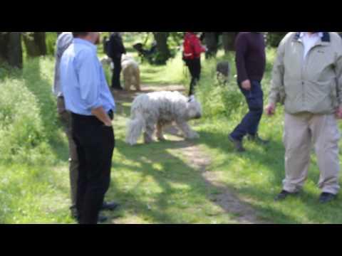 2016 Üllő, Csikó komondor semlegességi teszt