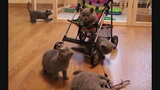 Британские котята в коляске. Купить британского котенка